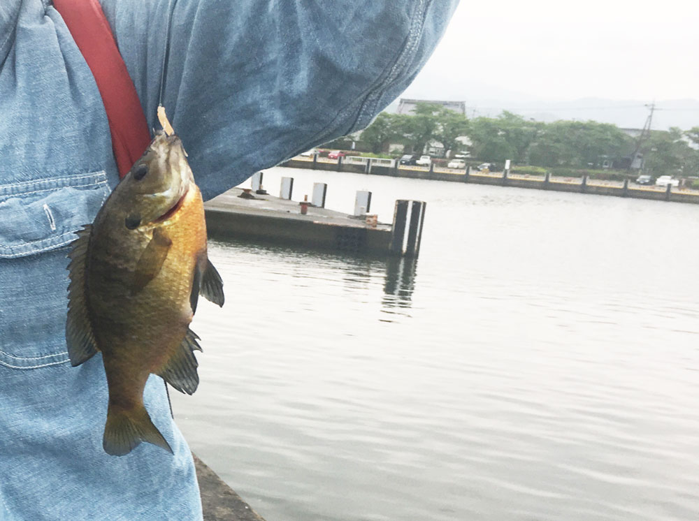 琵琶湖でブルーギルを釣る