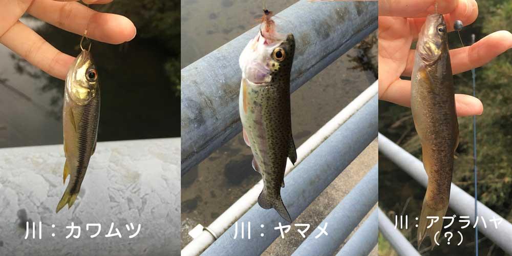 田舎で爆釣した魚(カワムツ・アブラハヤ・ヤマメ)